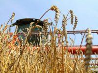 Урожайность зерновых в регионе выше, чем в прошлом году
