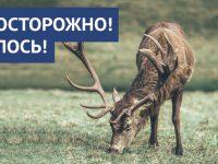 В регионе участились случаи наезда на диких животных