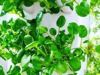 Ивановский фермер выращивает зелень и салаты в воздушной среде